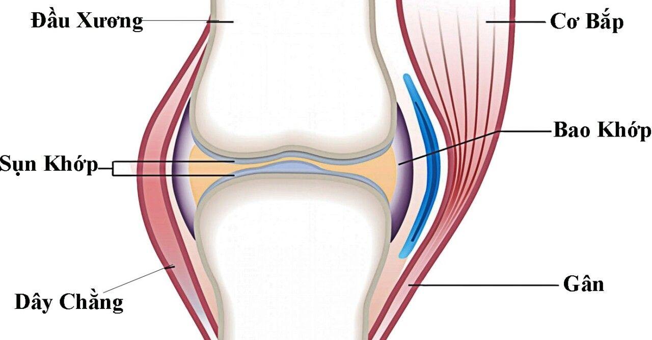 Sụn khớp gối đóng vai trò chính trong sự vận động của cơ thể