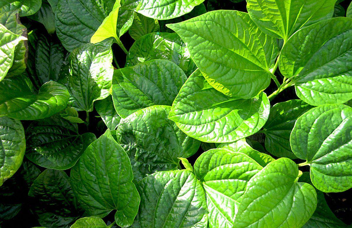 Bài thuốc trị gai cột sống từ lá lốt được nhiều người sử dụng