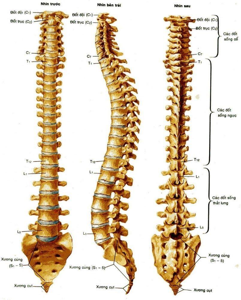 Cấu trúc cột sống con người