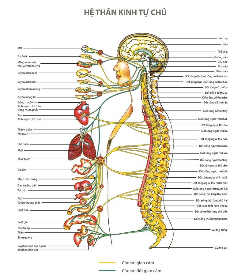 Hình ảnh minh họa 33 - 35 đốt sống xếp chồng lên nhau tạo thành cột sống