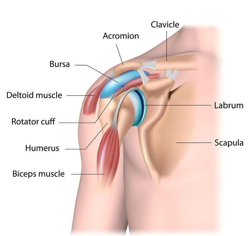 Cấu trúc giải phẫu vùng khớp vai ở người trưởng thành