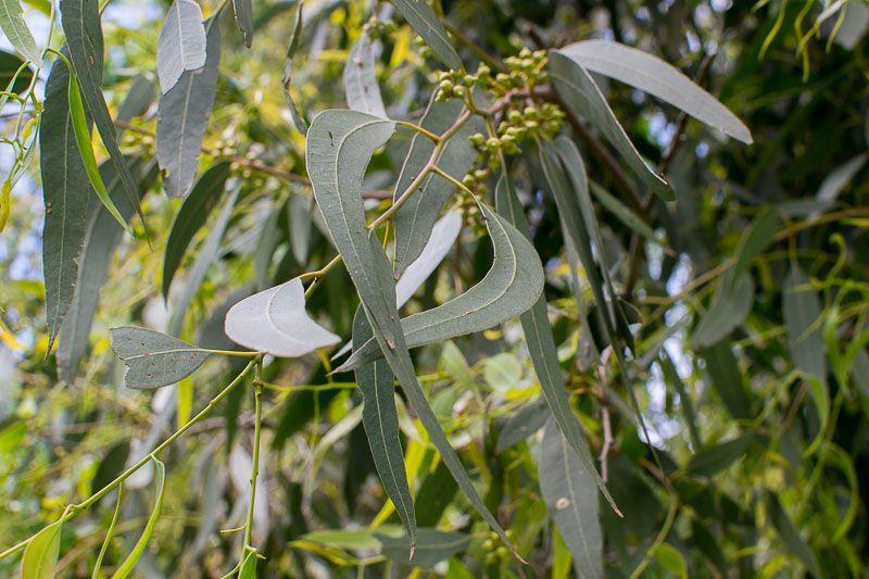 Chữa thoái hóa khớp khuỷu tay bằng lá cây bạch đàn